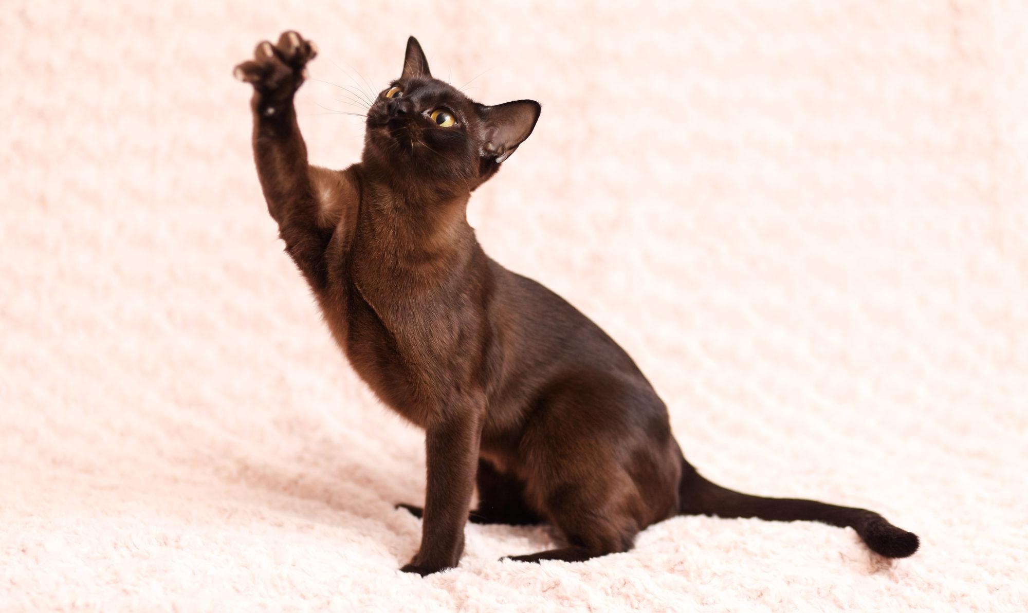 бурманская кошка здоровье